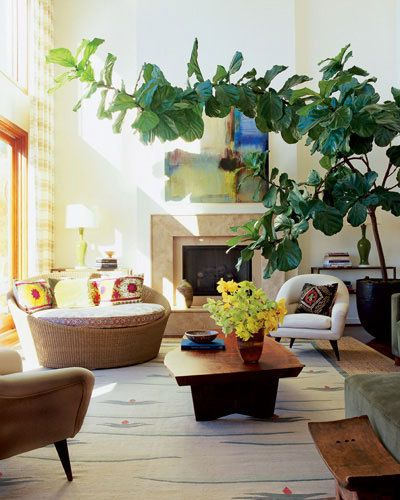 Elegant Living Room with Enormous Fig Tree